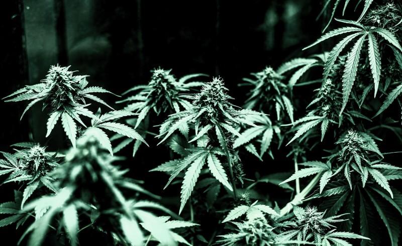 Algunos mitos acerca del consumo de la marihuana