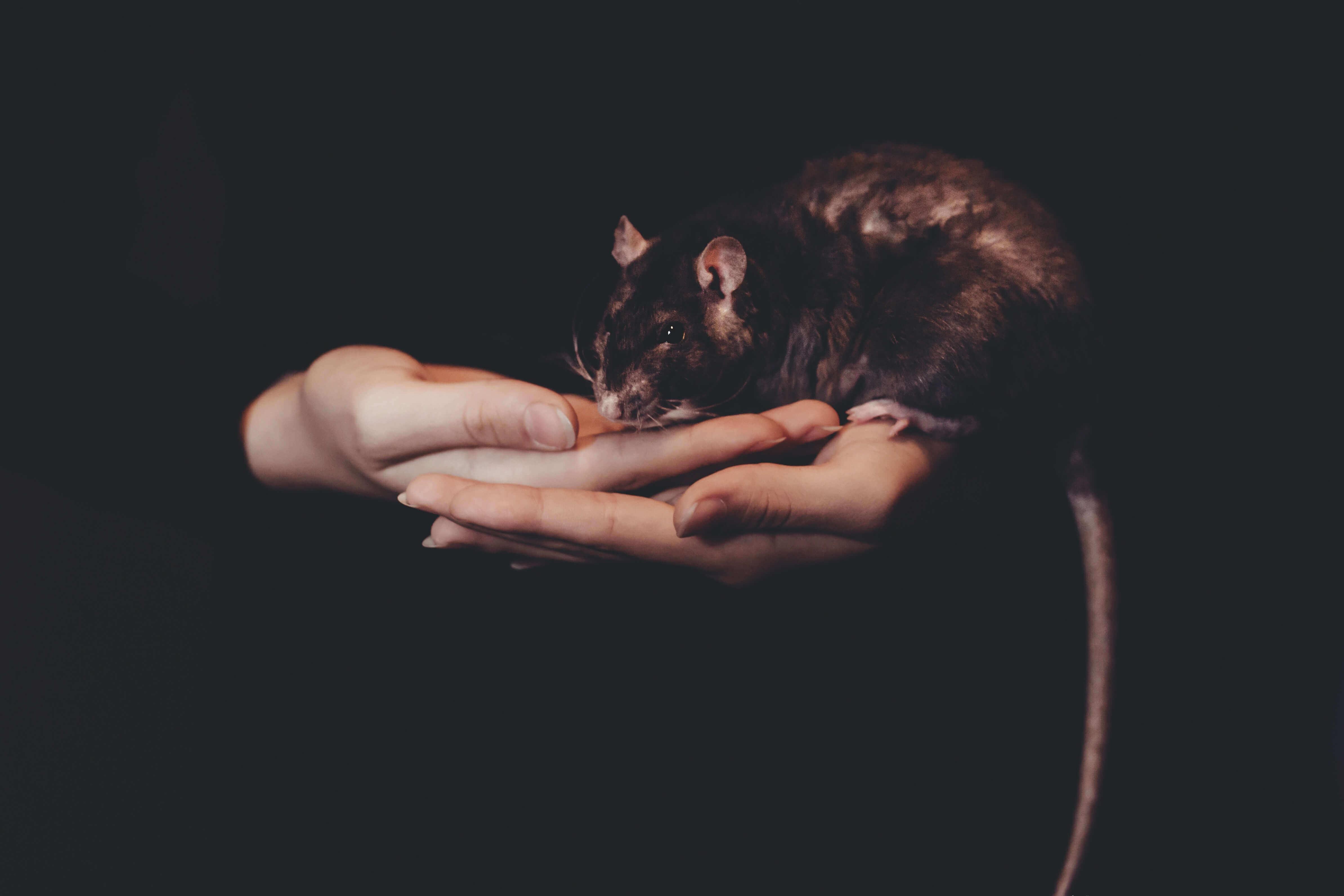 Unas manos de mujer sostienen a un roedor