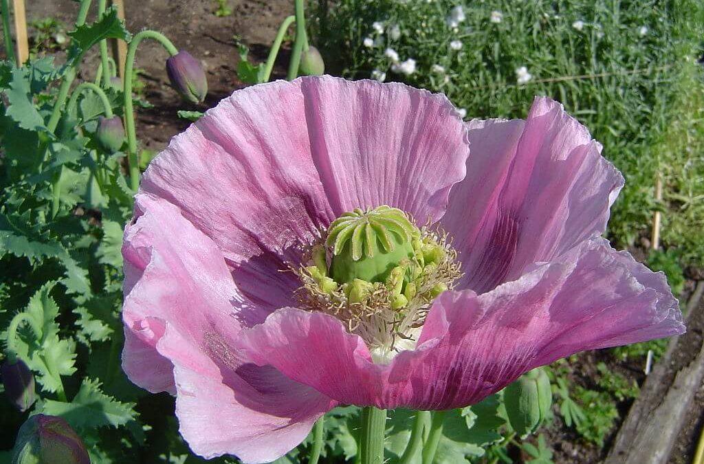 flor amapola dormidera de la que se extrae el opia